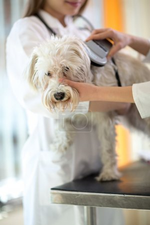 Photo for Veterinarian checking microchip implant on Maltese dog in vet clinic - Royalty Free Image