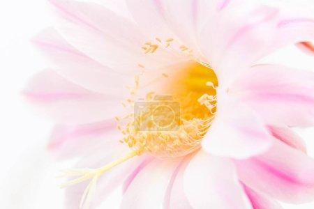 Photo pour Belle fleur de cactus rose gros plan - image libre de droit