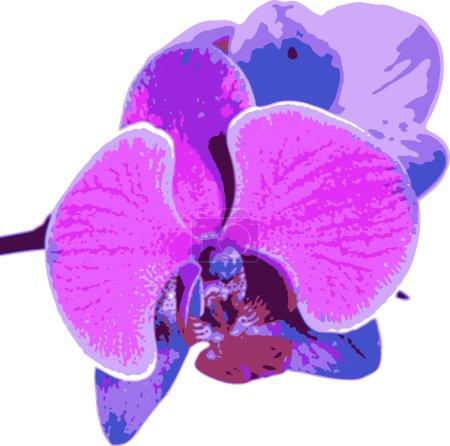 Photo pour Belle fleur orchidée, phalaenopsis mauve gros plan isolé sur fond blanc - image libre de droit