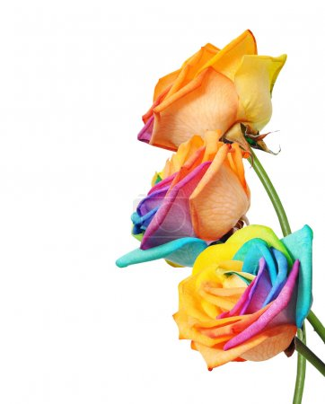 Rainbow rose flower and multi colors petals.