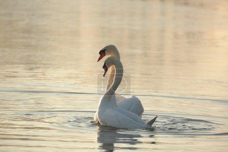 Photo pour Cygne sur le lac à l'aube . - image libre de droit