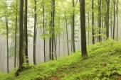 Spring beech forest