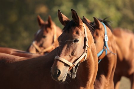 Photo pour Chevaux dans la prairie regardant les autres chevaux. - image libre de droit