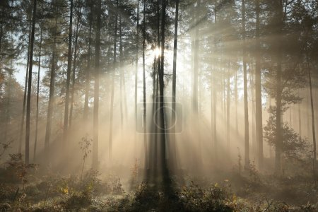 Photo for Sunbeams fall into the autumn coniferous forest. - Royalty Free Image