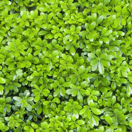 Natural green leaf texture