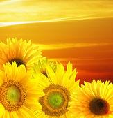 Západ slunce nad pole slunečnic