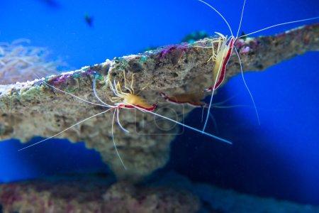 Lysmata amboinensis (Cleaner Shrimp)