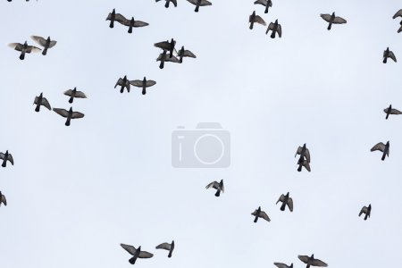 herde von tauben fliegen in den