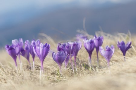 Photo for Spring crocus flowers on sunny meadow in the mountains - Royalty Free Image