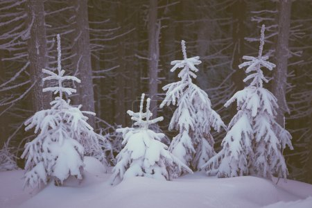 Photo for Winter landscape with snow covered fir trees in the mountain forest. Fabulous views. Color toning. Low contrast - Royalty Free Image