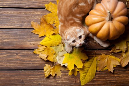 Ginger kitty and maple leaves
