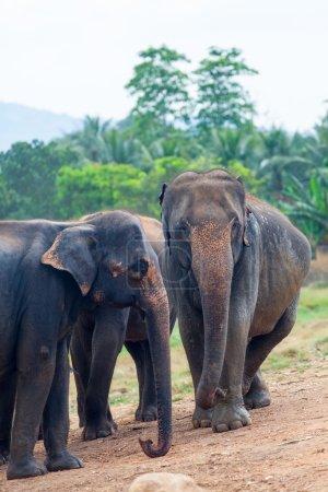group of  Elephants near a jungle