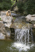 Gibbon is sitting over the waterfall. Zoo Chiang Mai, Thailand