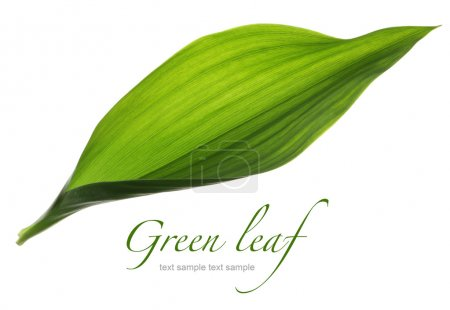 Photo for Close up green leaf isolated on white - Royalty Free Image