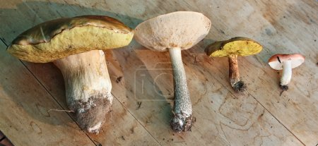 group of four edible mushrooms (white, boletus, suillus, russula