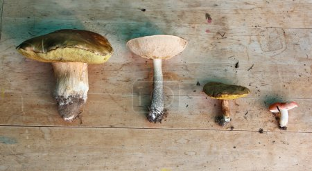 Set of four edible mushrooms (white, boletus, suillus, russula)