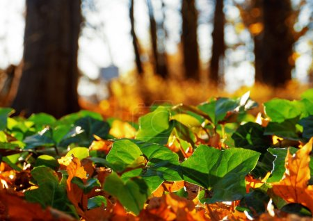 Photo pour Golden Leaves in a park and fresh green ivy. Soft focus view. - image libre de droit
