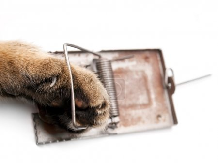 Photo for Cat paw in a mousetrap on a white background. - Royalty Free Image