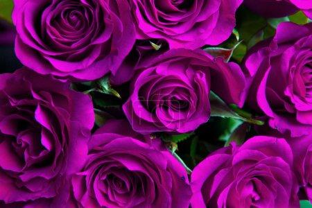 Photo pour Violet fond de roses naturelles - image libre de droit