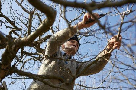 Photo pour Vieux fermier, tailler les arbres avec une paire de ciseaux, traditionnellement - image libre de droit