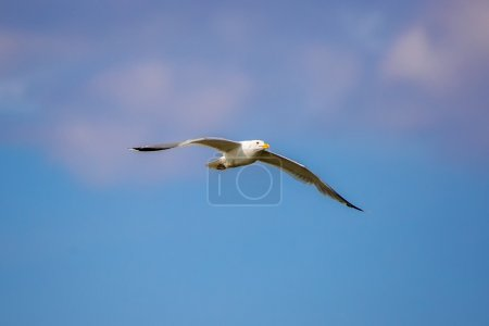 one Seagull in flight