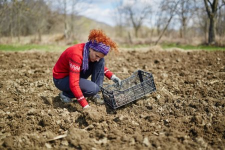 Woman sowing potato