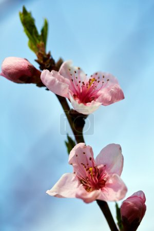 Peach tree branch with pink flowers on springtime