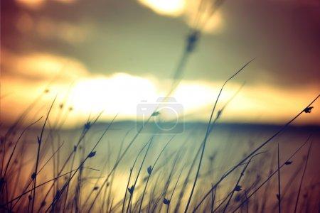 Wild grasses at golden summer sunset vintage lands...