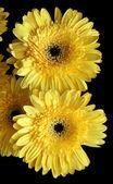 žlutá Gerbera