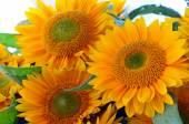 Krásné žluté slunečnice kytice