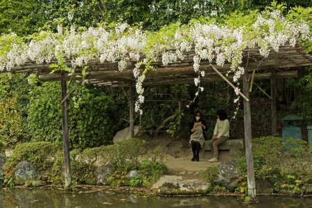 White flowers of Wisteria growing on the wooden pergolas at the