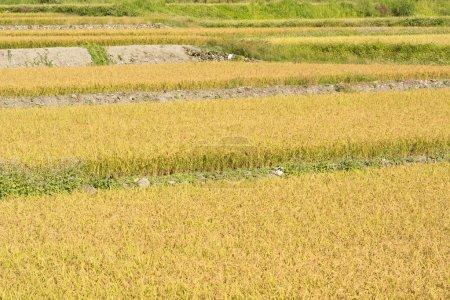 Golden rice farm