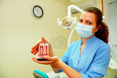 Dentist holding teeth model