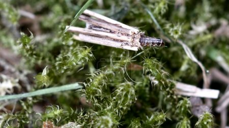Trichoptera-Larve