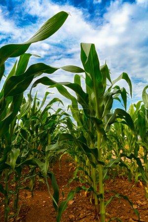 Green corn field growing up