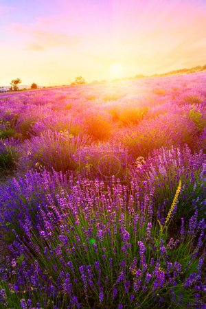 Photo for Sunset over a summer lavender field in Tihany, Hungary - Royalty Free Image