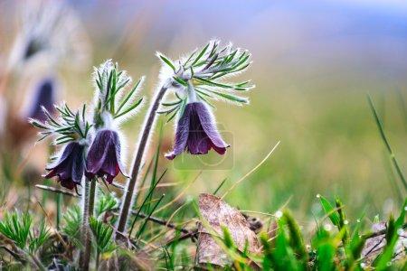 Photo pour Un groupe de Pulsatilla montana fleurissant sur la prairie printanière en Hongrie - image libre de droit