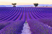 Lavender field summer  near Valensole