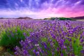 Sunset over a summer lavender field