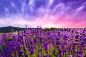 Sunset over a summer lavender field