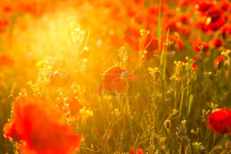 Photo for Poppies field meadow in summer in Hungary - Royalty Free Image