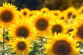Krásné slunečnice v poli