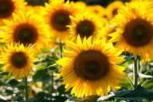 Zblízka slunečnice na hřišti