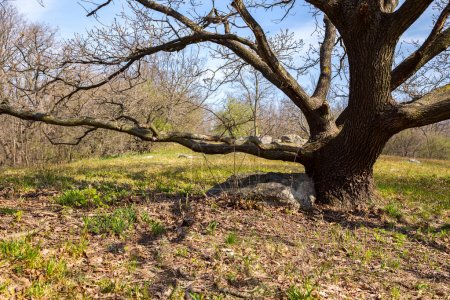 Oak trees on green meadow at a spring day