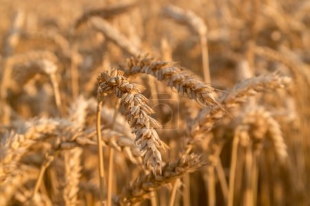 Photo for Wheat field  ready for harvest growing in a farm field - Royalty Free Image