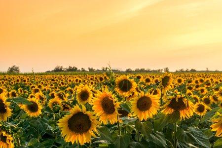 Photo pour Un beau champ de tournesol en été en Hongrie - image libre de droit