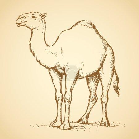 Camel. Vector drawing