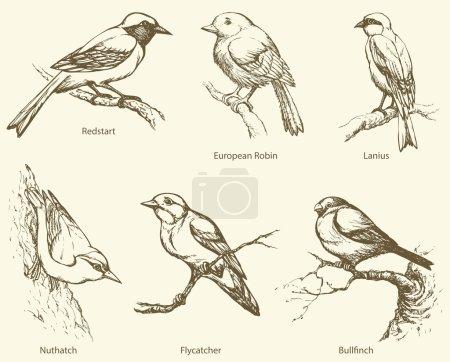 Vector set of birds: Bullfinch, Redstart, Nuthatch, Flycatcher,