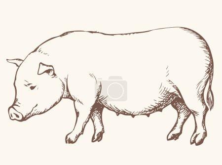 Pig. Vector drawing