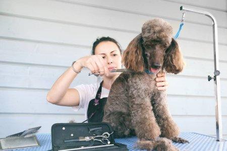 Professional woman animal groomer cutting hairs on...